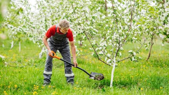 mature man planting tree and digging hole with shovel in garden